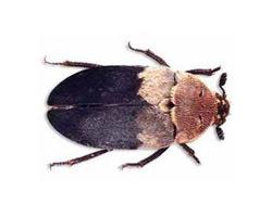 Deri Böceği İlaçlama