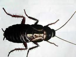 Karafatma Böceği İlaçlaması