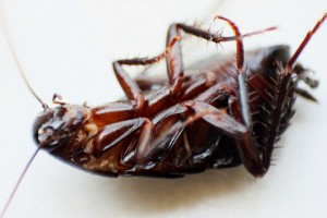 Nasty roaches - they eat your food and crawl everywhere in your apartment, and it seems impossible to get rid of them