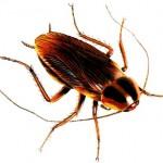 Apartman Böceği