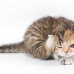Kedi Piresi Nasıl Yok Edilir