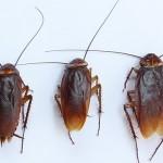 Kalorifer Böcekleri